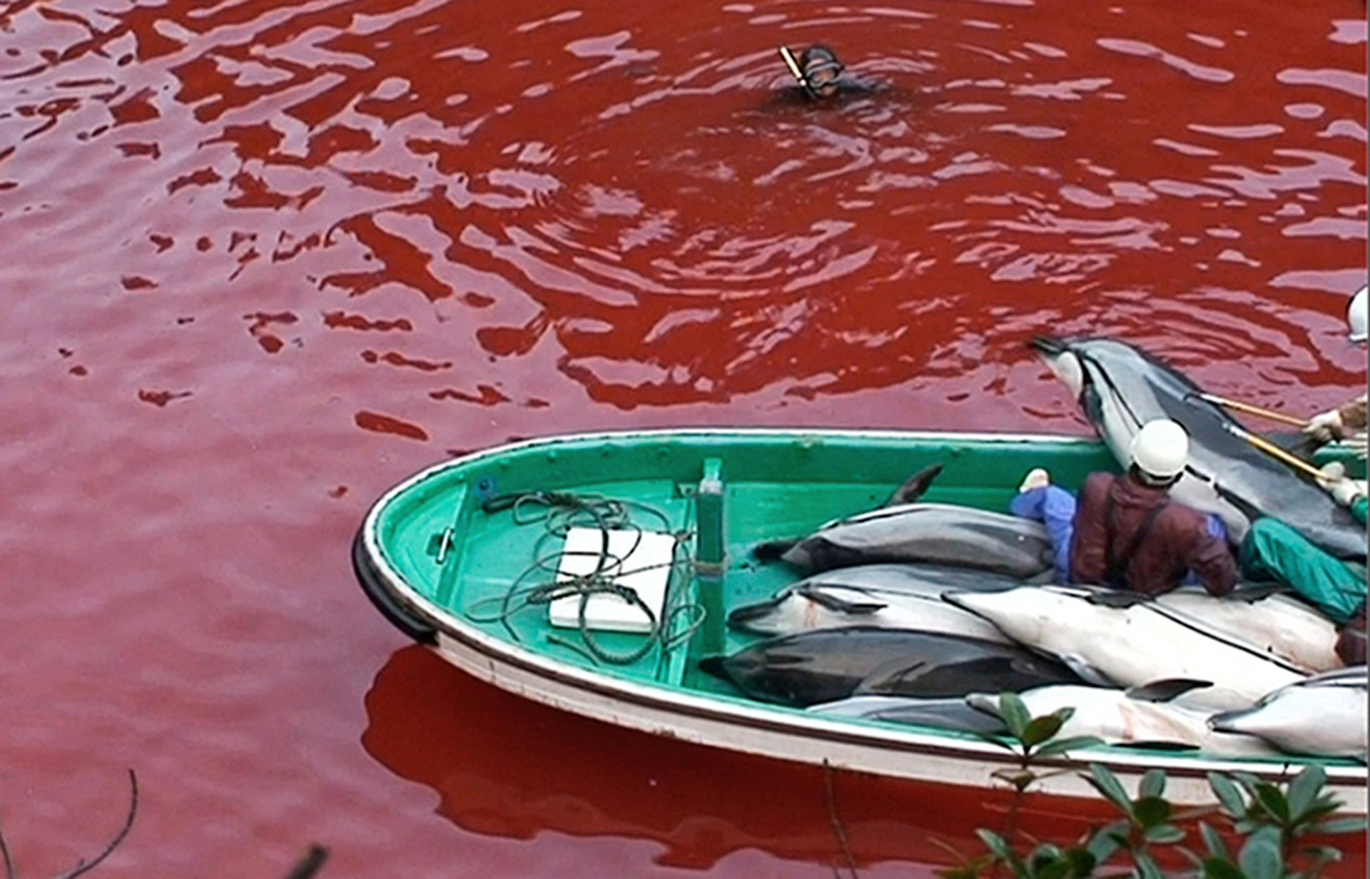 «Red Sea» at the infamous Cove of Taiji. Photo: Oceanic Preservation Society