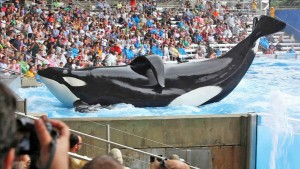 Tilikum performing at SeaWorld for entertainment and profit. The collapsed dorsal fin caused by captivity. Photo: Magnolia Films