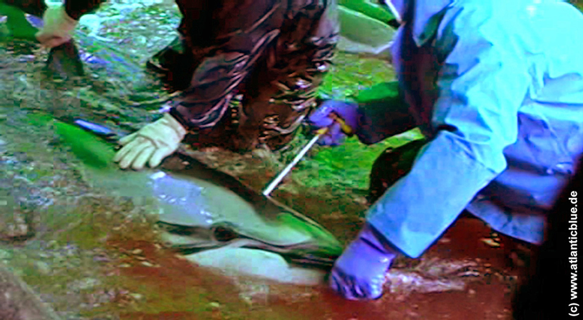 A hunter rams a sharp metal rod into the dolphin's spinal column causing paralysis and eventual death. This slow and painful method of killing is condemned by scientists as cruel and inhumane. Photo: Atlanticblue