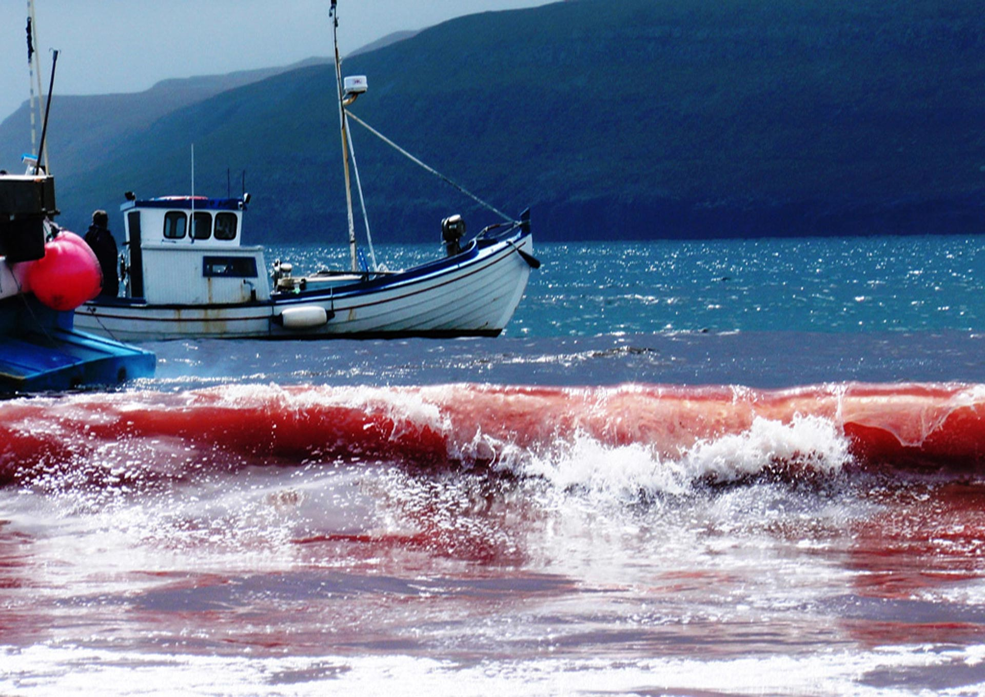 Red sea after a pilot whale hunt on June 5, 2012 in the Bay of Sandur, Faroe Islands. Photo: Hans Peter Roth