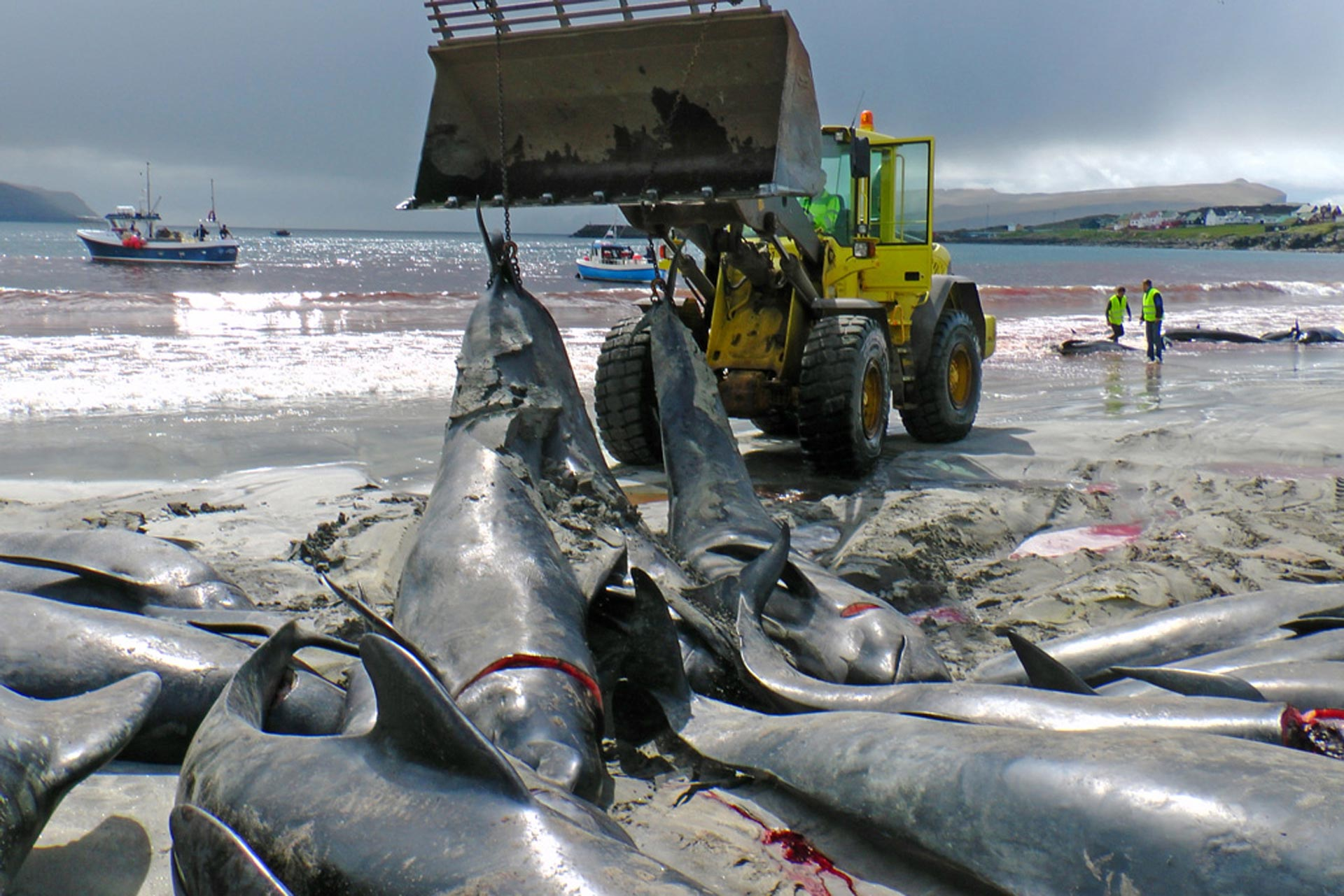 Hunted pilot whales are dragged into the water and then towed to the nearby port. Picture was taken after a hunt on June 5, 2012 in the Bay of Sandur. Photo: Hans Peter Roth