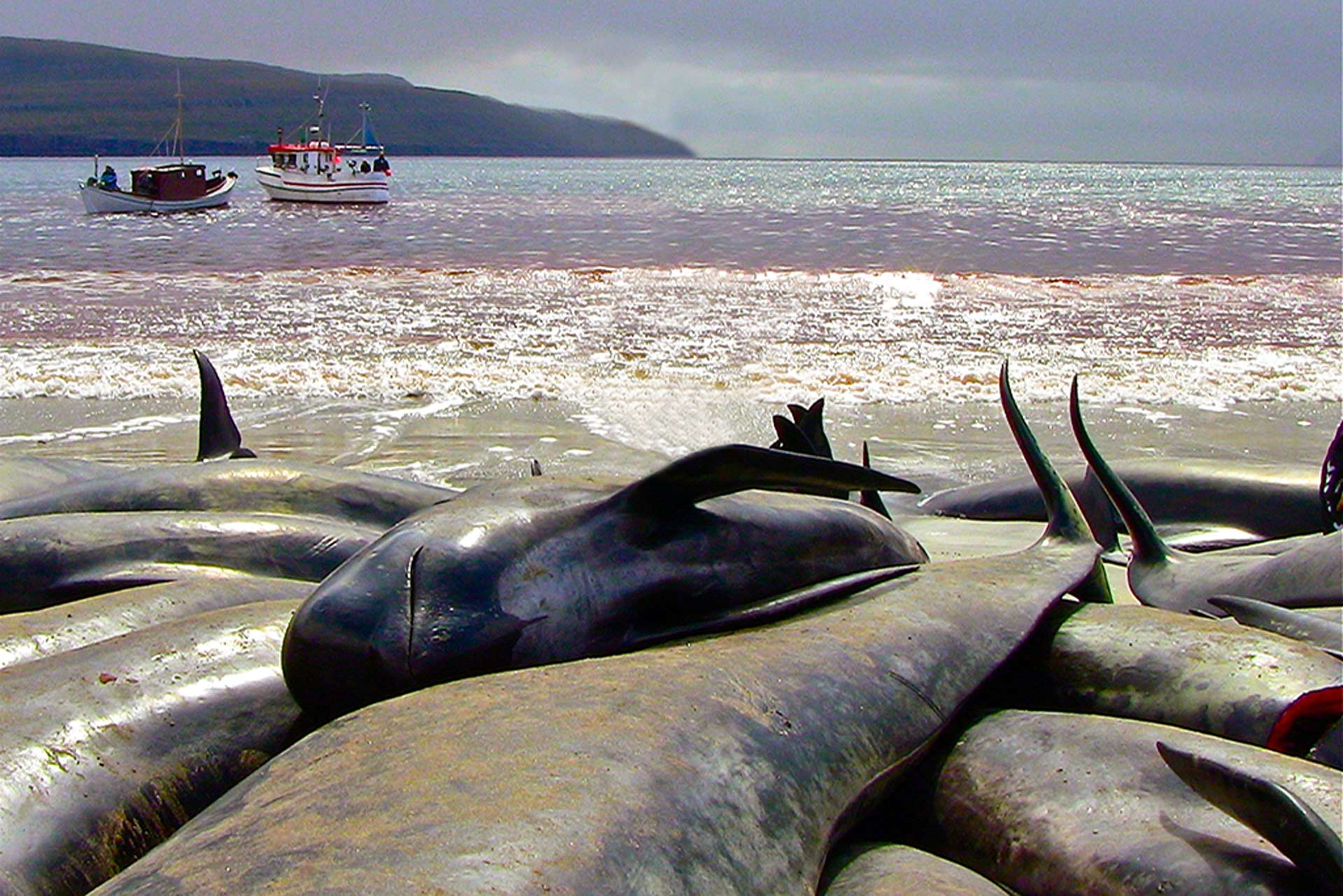 Hunted pilot whales. Photo was taken on June 5, 2012 in the Bay of Sandur. Photo: Leah Lemieux