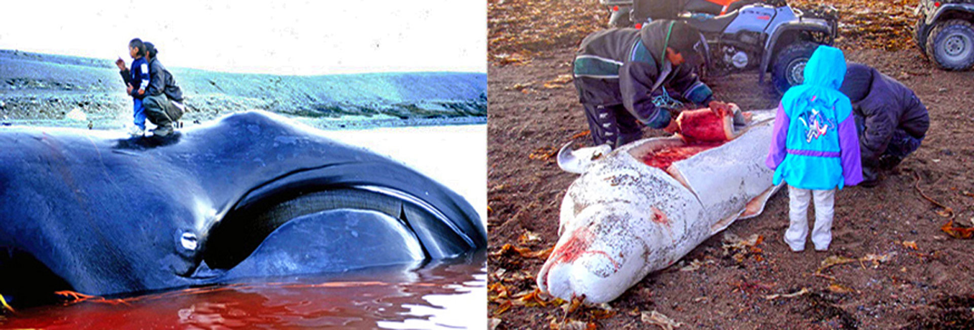Left image: Bowhead whale caught in Igloolik, Nunavut. Photo: Ansgar Walk / Right image: A Beluga whale is flensed for its Maktaaq which is a source of vitamin C in the diet of some Inuit. Photo: Polargeo - http://bit.ly/1pmtfKQ