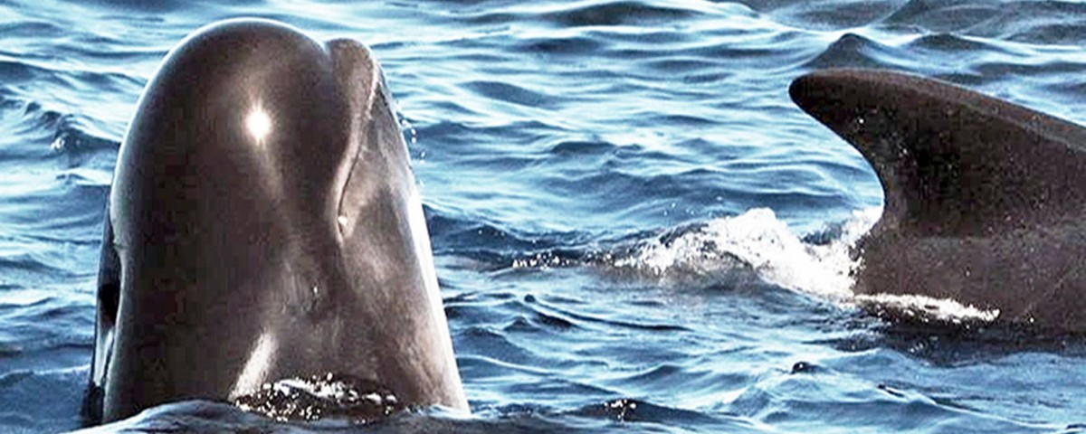 grind, grindadrap faroe islands, delfinjagd färöer inseln, pilot whale hunt, grindwaljagd