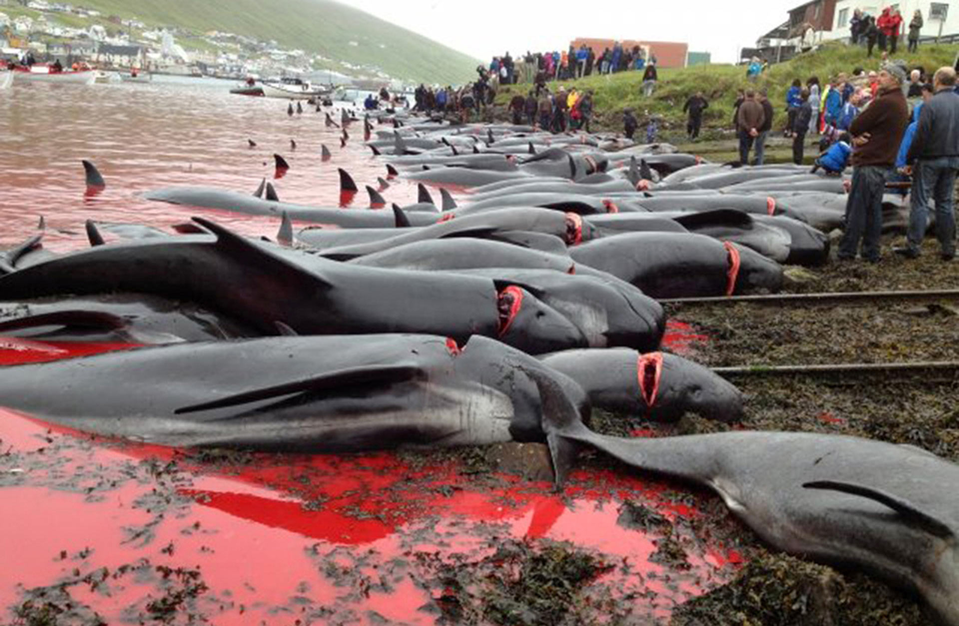196 hunted pilot whales. Photo was taken on August 8, 2012 Vagur. Source: www.portal.fo