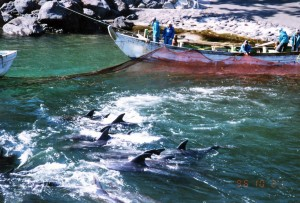 Dolphins caught at Futo, Japan. Photo: Elsa Nature Conservancy