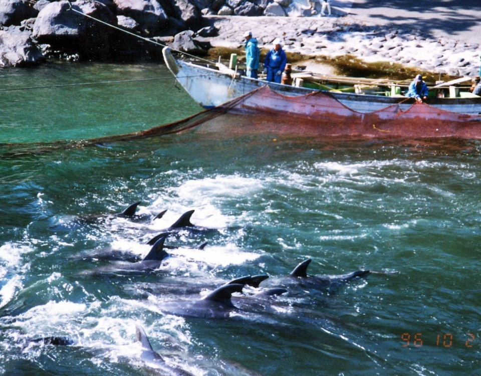 dolphin slaughter japan