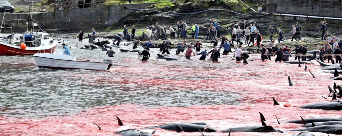 grindadráp faroe islands, delfinjagd färöer inseln, pilot whale hunt