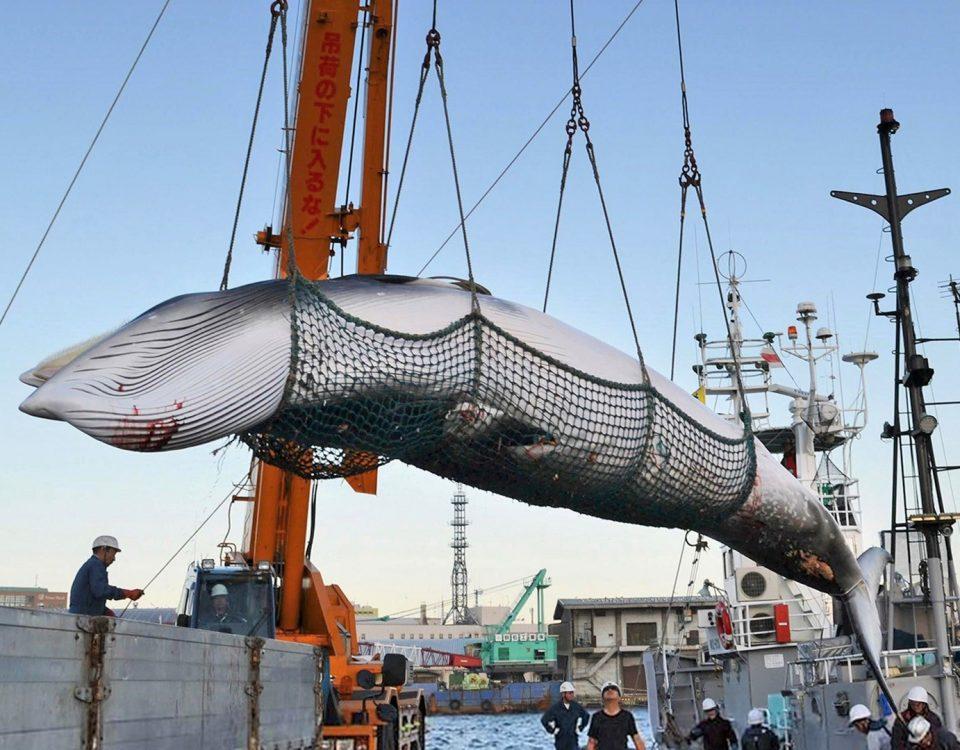 whaling in japan, walfang in japan, zwergwal, chasse à la baleine