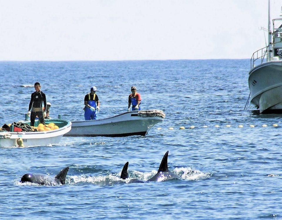 dolphin drive hunt in japan, treibjagd delfine, chasse dolphin